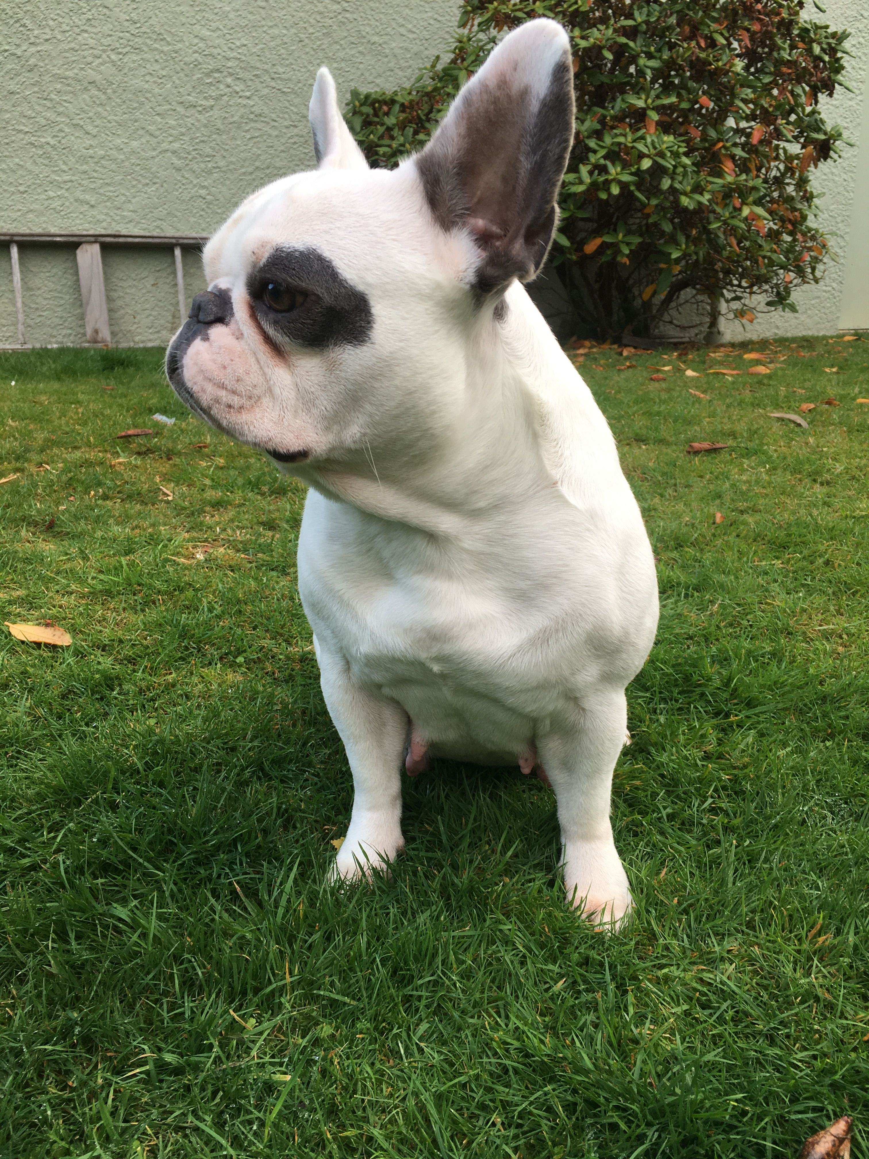 princess the gorgeous french bulldog | cute animals, french