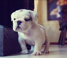 I Want A Bulldog Puppy French Bulldog Puppies Bulldog Bulldog Puppies