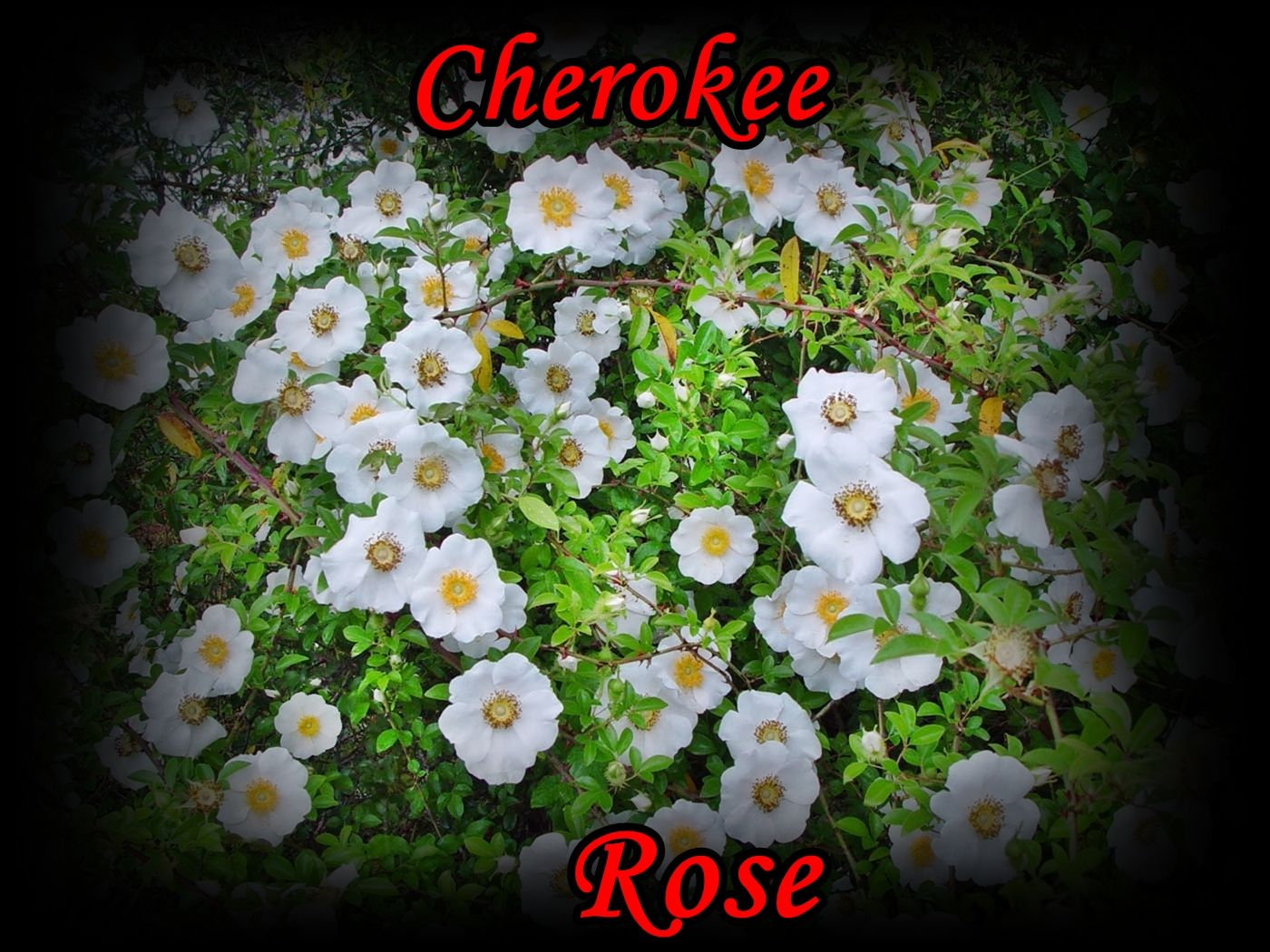 State Flower of Cherokee rose, Garden, Trees to