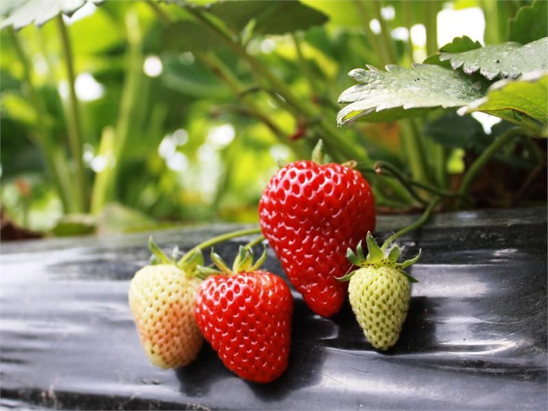 Albion Strawberries Are Suppose To Grow Really Well In Utah Buy Albion Strawberry Plants Sakuma Bros Farms Online Store With Images Strawberry Plants