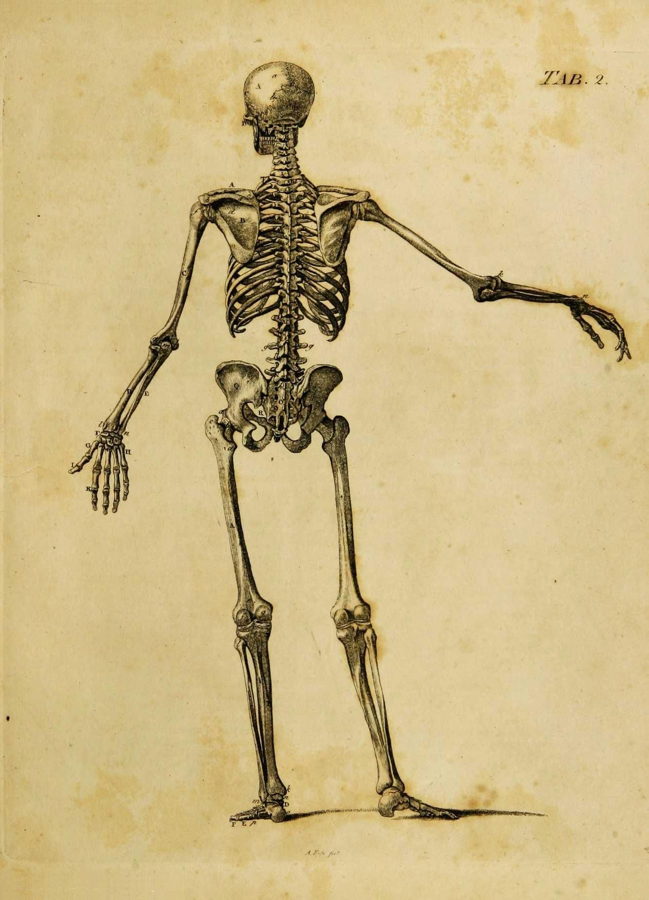 Back View Of The Male Skeleton With Some Of The Cartilages And