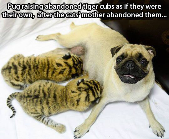f431ed8a3 This is how sweet Pugs are  Tiger pugs…