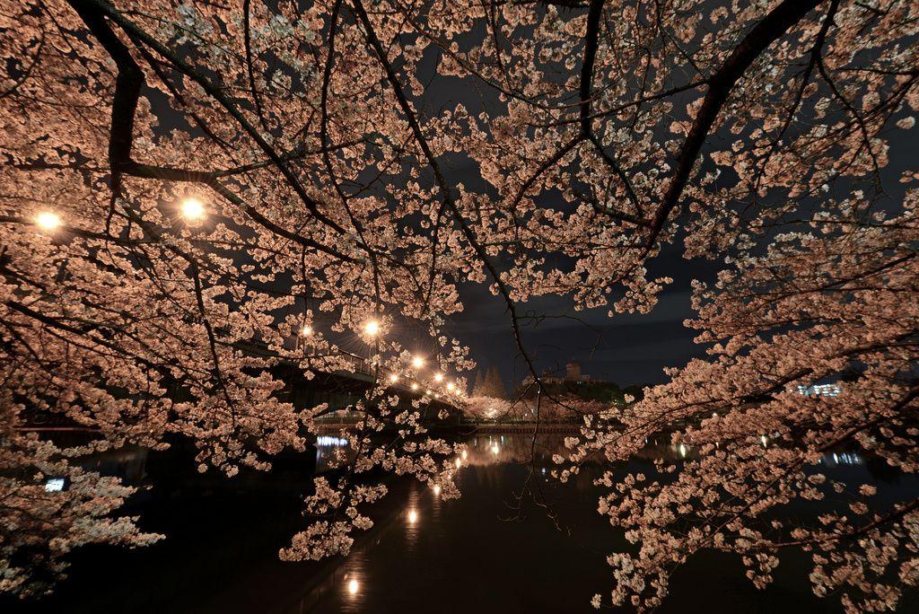 Yozakura The Night Sakura Kyuhoshi