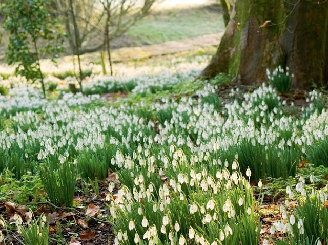 """Snowdrops or galanthus are naturalizing perennial bulbs that bloom white flowers in very early spring, before crocus. They grow best in dappled shade and get 4-6"""" tall. Usually planted in mass under trees or shrubs, along woodland paths, or in borders. Zones 2-9"""