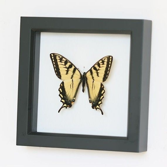 This butterfly wall art features the Tiger Swallowtail butterfly, which is common in North American gardens and parks. It gets its name from its