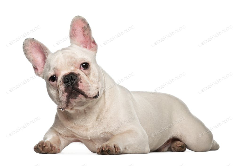French Bulldog 7 Months Old Lying Against White Background By Lifeonwhite S Photos Ad Affiliate Mo With Images French Bulldog White French Bulldog Puppies Bulldog