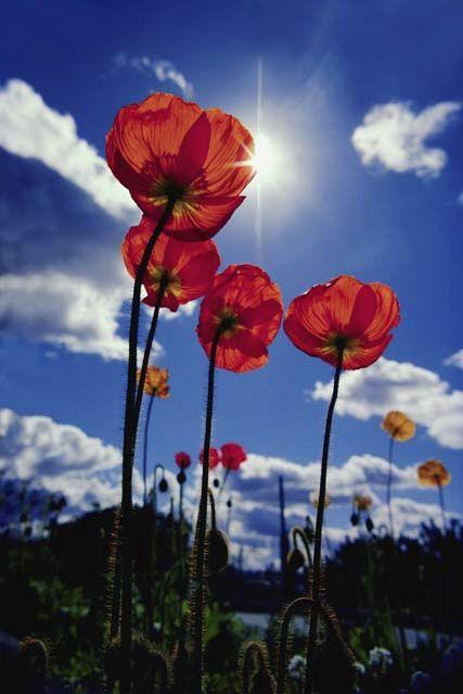 Cm Locker Wallpapers Popies Hľadať Googlom цветы