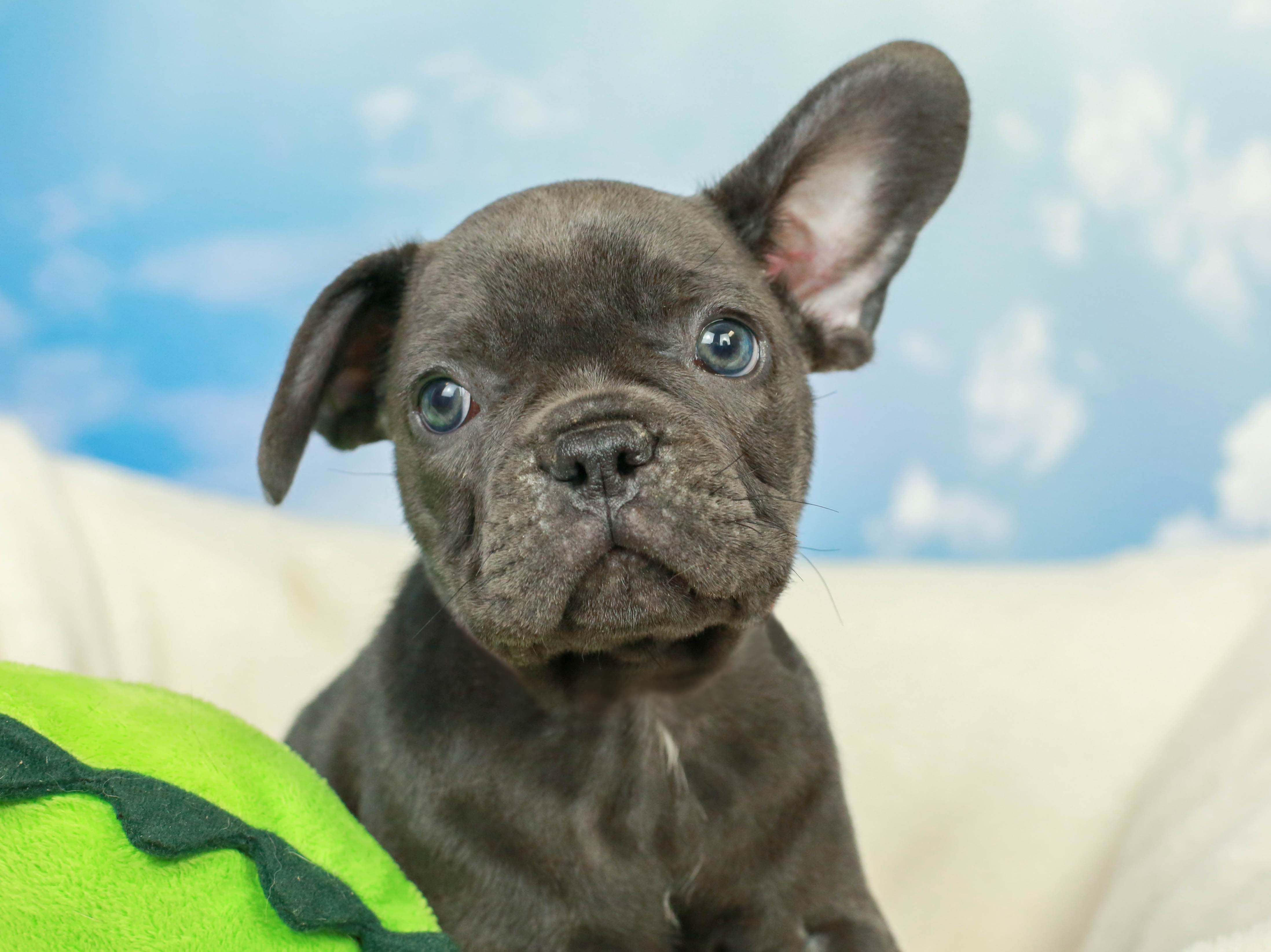 The Baby Frenchie Is So Cute But He Is Only Half Listening In