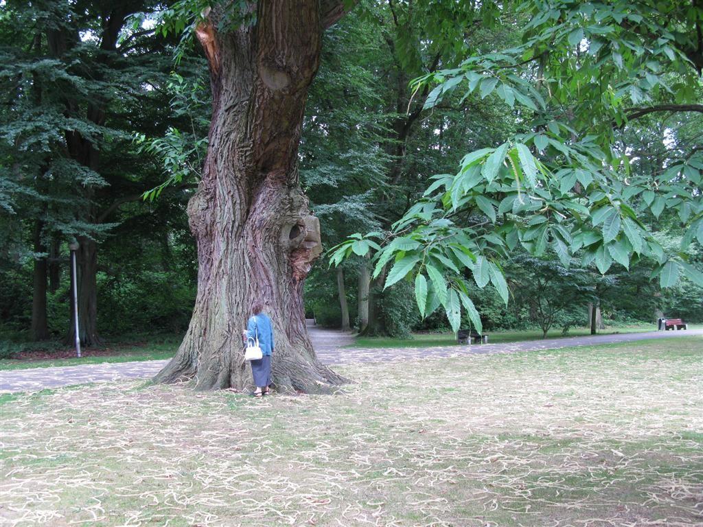 North American Trees American Chestnut Tree Chestnut Trees