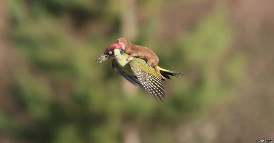 Wow.This staggering photo sequence shows a green woodpecker flying with a weasel on its back.The photographer Martin Le-May says the woodpecker survived the confrontation and the weasel ran off into the long grass.
