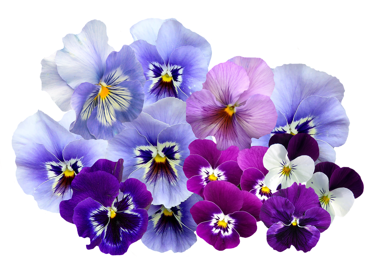 Free Image On Pixabay Pansy Isolated Violet Nature In 2020 Pansies Flowers Pansies Flower Illustration