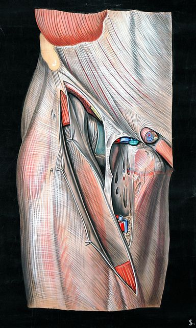 ☤ MD ☞☆☆☆ Femoral triangle    By Elisa Schorn, circa 1900.