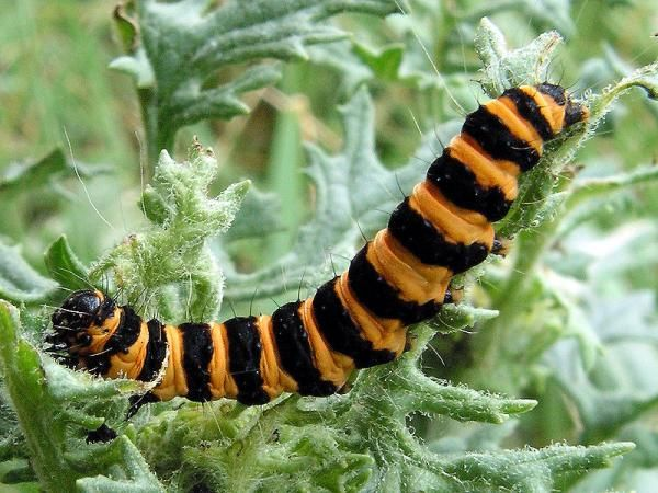 cinnabar caterpillar- don't touch!