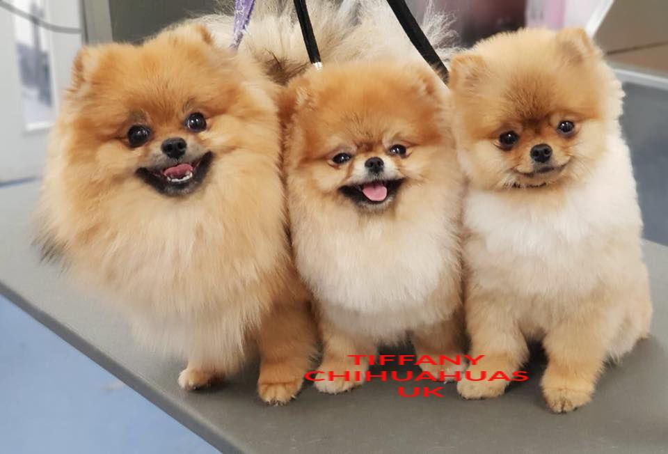 Pomeranians Bred By Tiffany Chihuahuas Pomeranians More Info On Our Facebook Cute Puppies Chihuahua Breeds