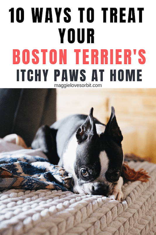 10 Ways To Treat Your Boston Terrier S Itchy Paws At Home Boston Terrier Terrier Dog Allergies