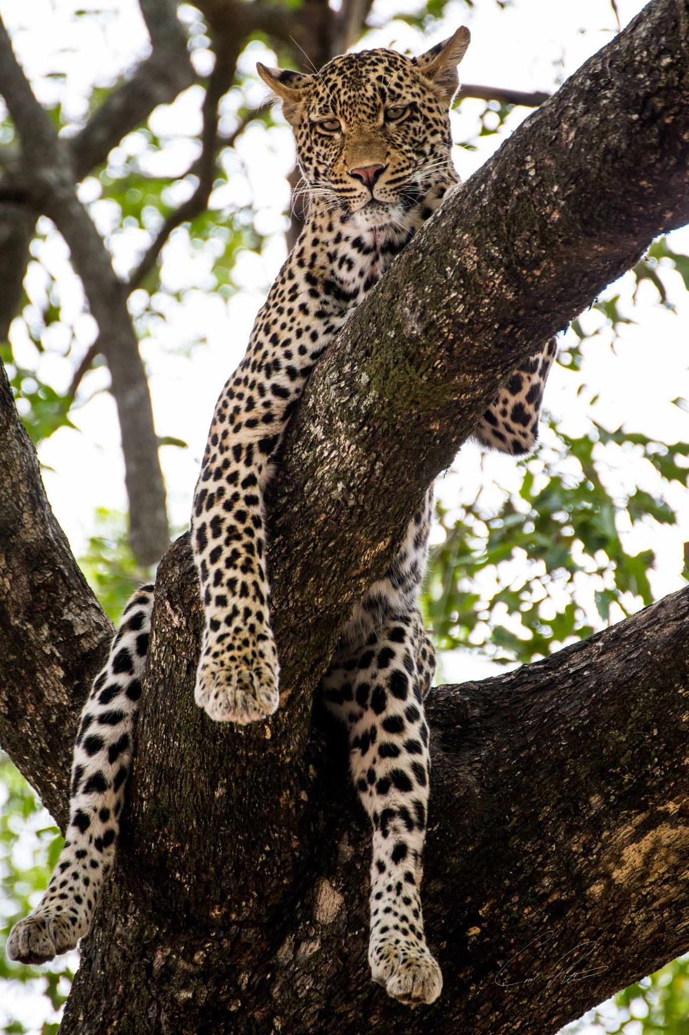 Female leopard, always keeping an eye out. Mala Mala Game