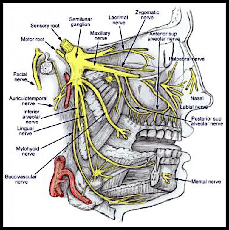 Migraine: Trigeminal Nerve | Migraine/Chronic Illness & Pain ...