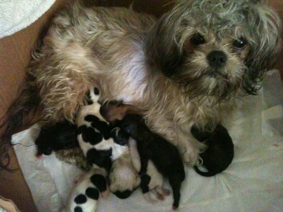 Shih Tzu Puppies *only 5 Days Old Now* Ready In Sept