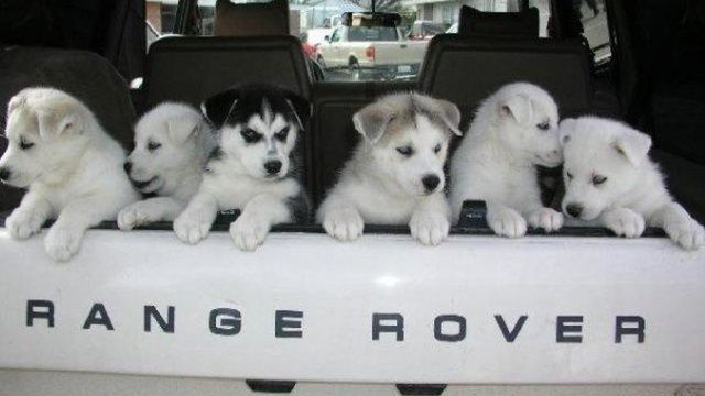 Top 12 Cutest Dogs In Land Rovers For National Love Your Pet Day