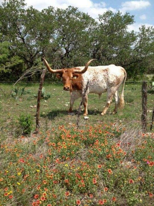 Pure Texas! Longhorn cattle, Animals, Cattle