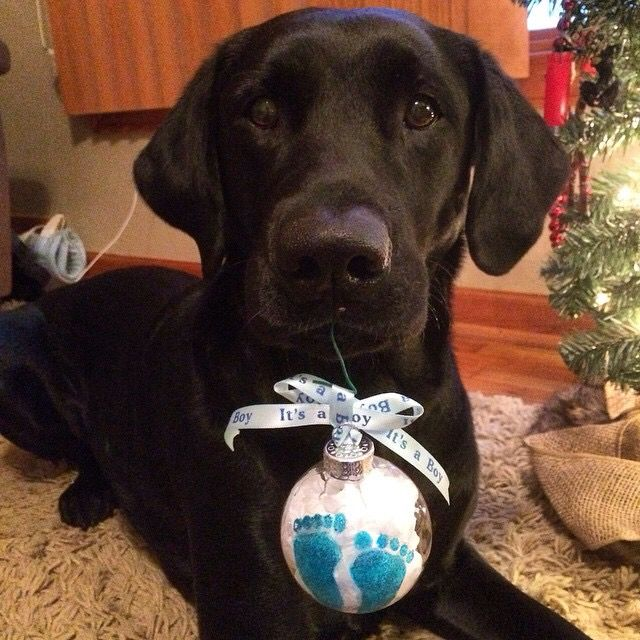 Christmas Gender Reveal With Pet Christmas Gender Reveal Baby Gender Reveal Boy Gender Reveal