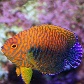 Potters Angel Saltwater Aquarium Fish Angel Fish Beautiful Sea Creatures