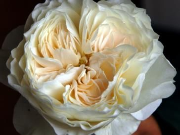 garden rose white cloud often used in wedding bouquets and other bridal arrangements - White Patience Garden Rose