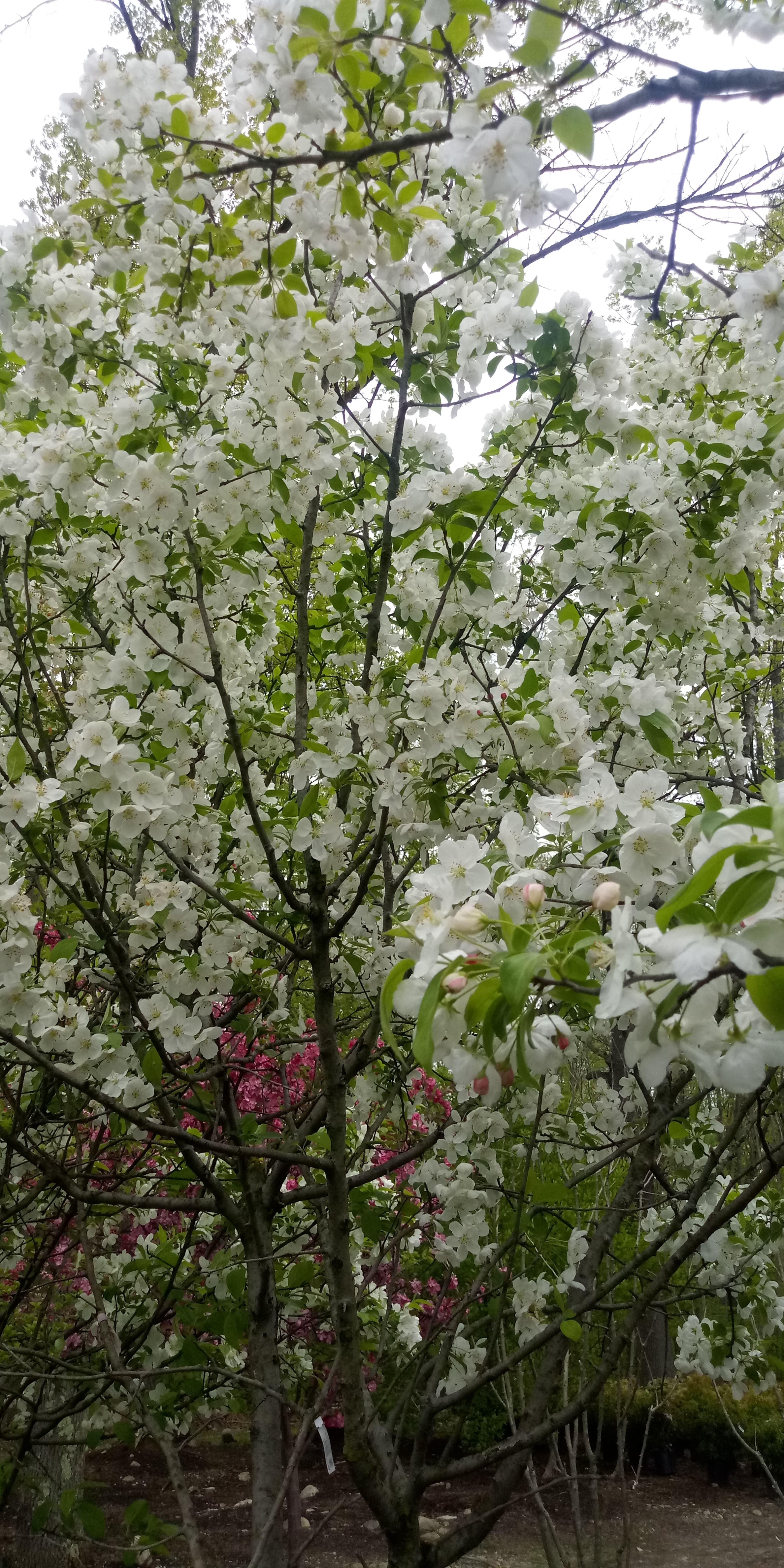 Malus X Snowdrift Flowering Crabapple Flowering Crabapple Flowering Trees Ornamental Trees