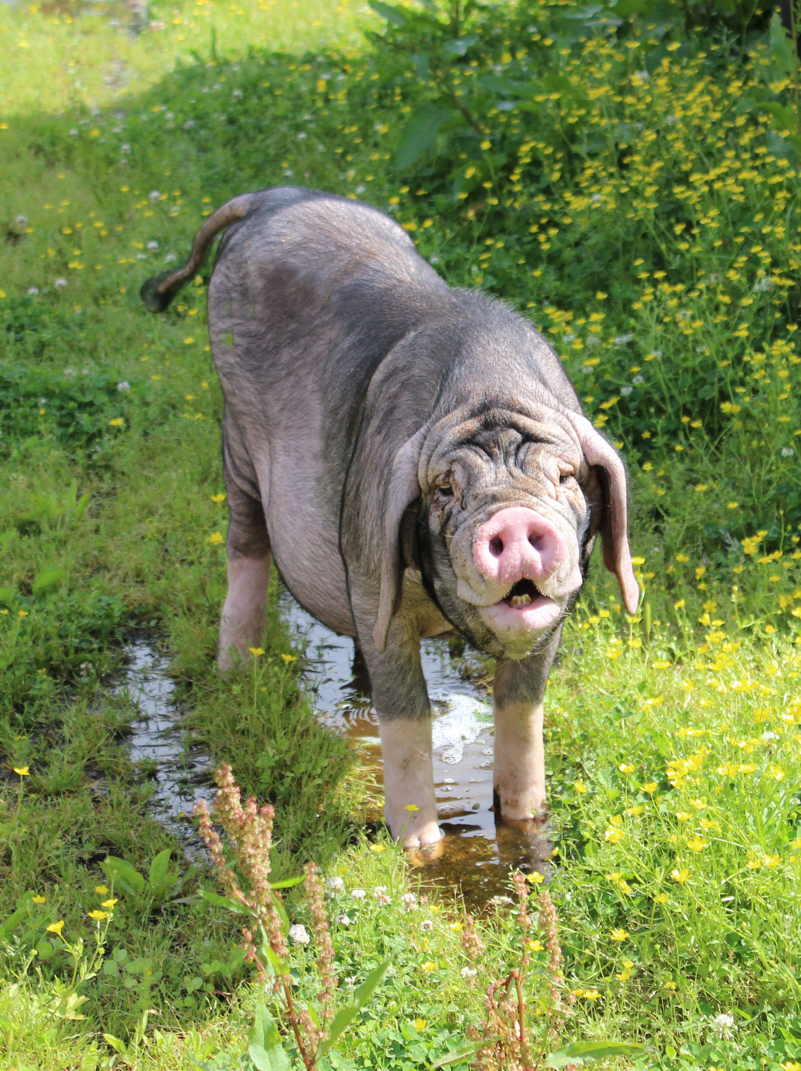 the Meishan pig. Rare breed pig originating from