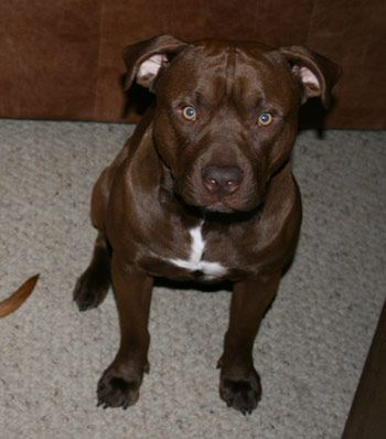 Available Dark Chocolate Red Nose Pitbull Puppy 11 Weeks 1200