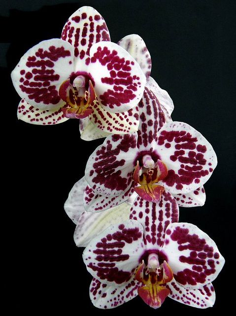 Moth-orchid: Phalaenopsis - Flickr - Photo Sharing!