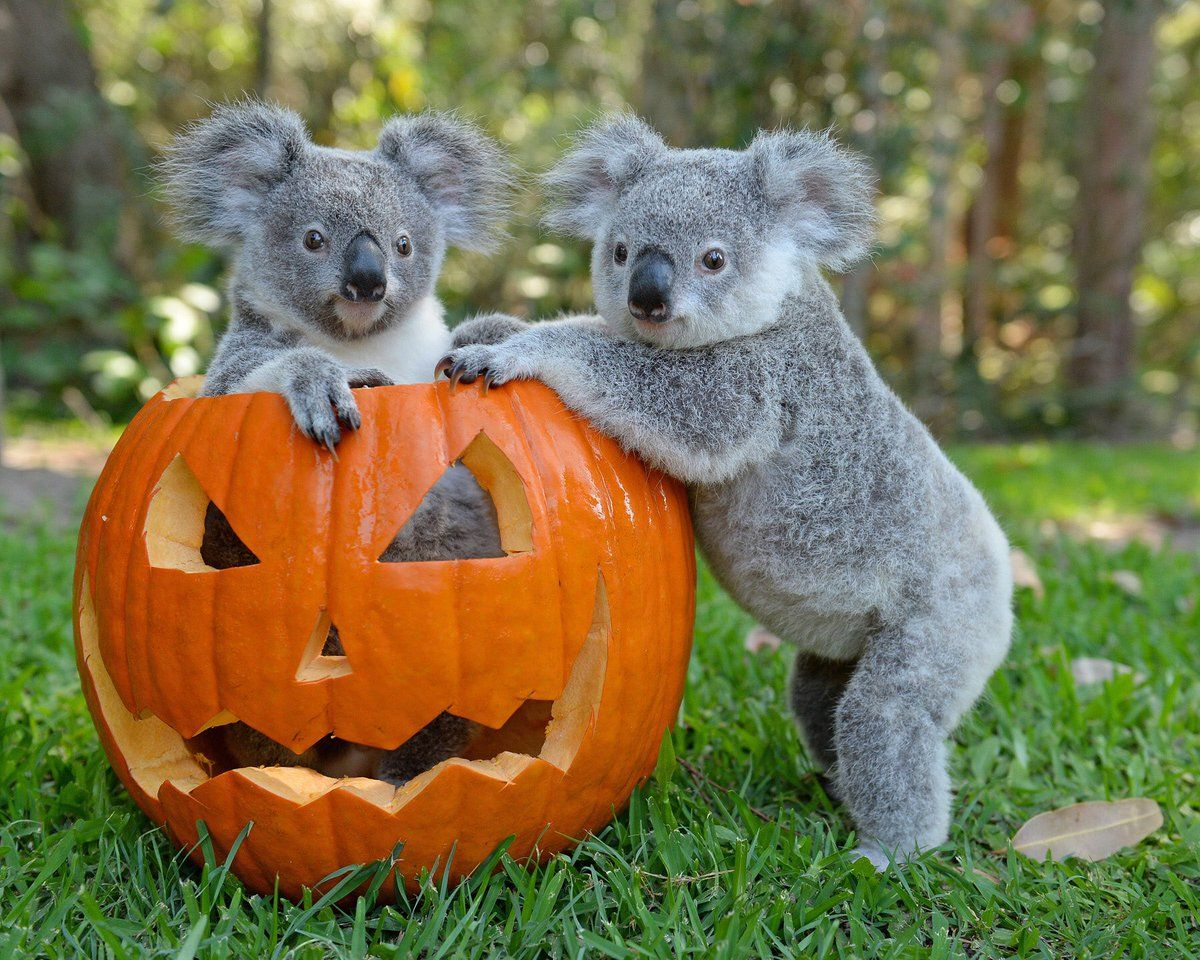 Koalas from Australia Zoo Animals beautiful, Australia