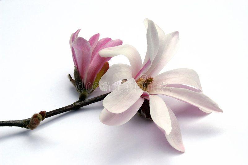 Magnolia Blossom White And Pink Magnolia Blossom On Branch Ad White Blossom Magnolia Branch Magnolia Ad Magnolia Blossom Blossom Magnolia