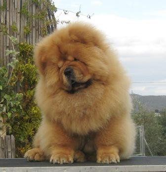 Red Puppy Chow Chow Puppy Chow Chow Dogs Chow Chow