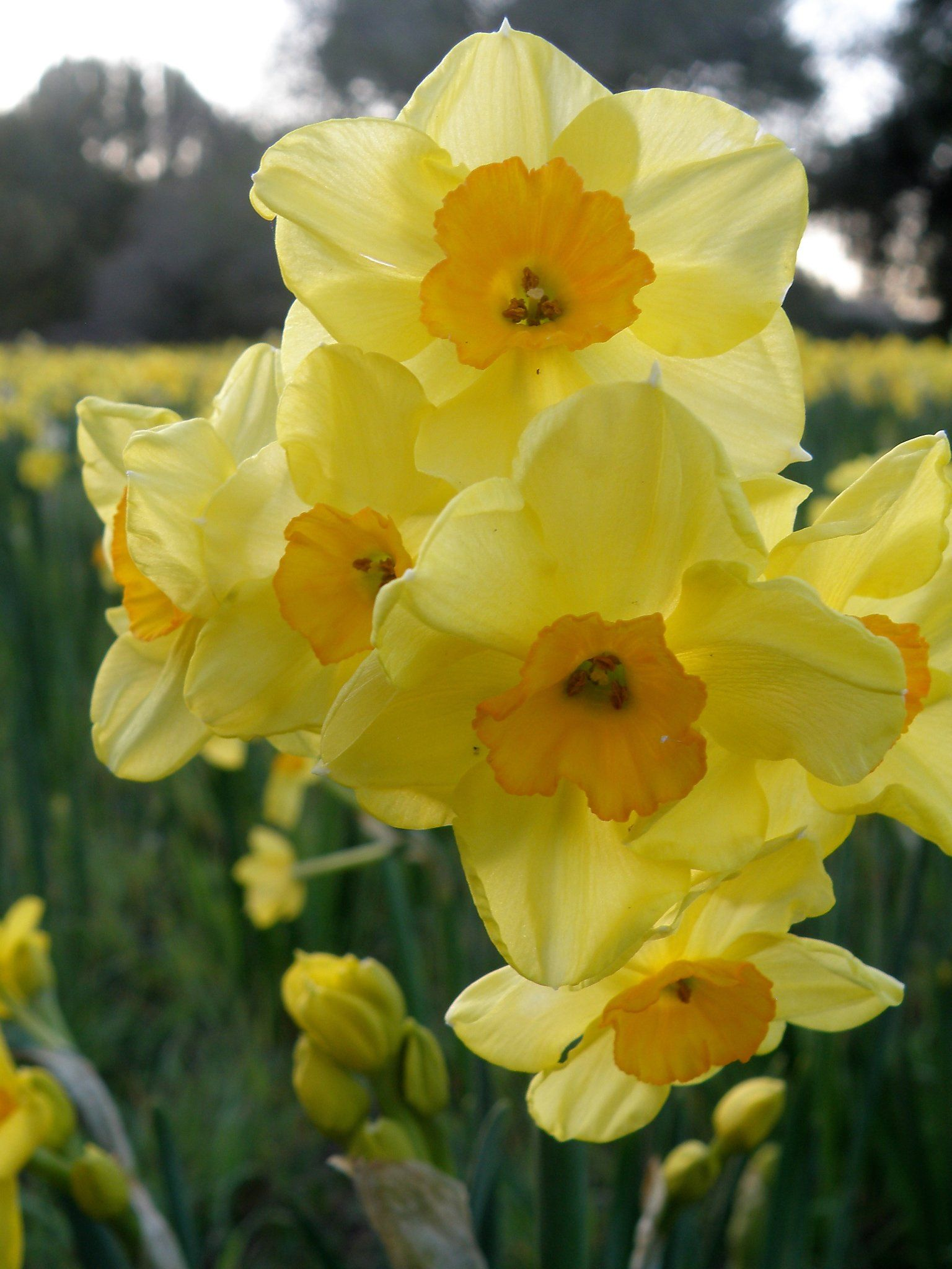 A Few Essential Tasks For Gardeners In March Daffodils Bulb Flowers Blooming Flowers