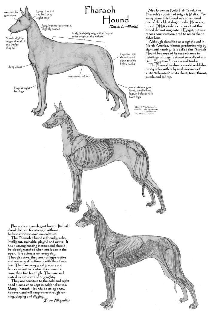 Исследование Фараон Hound Анатомия по Faryndreyn | Animais ...