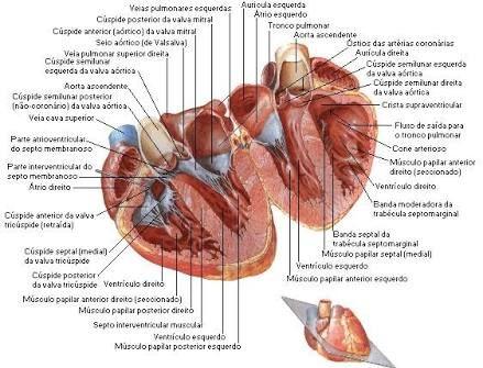 Pin by Izabella Marques Lira on Anatomia Cardiaca   Pinterest