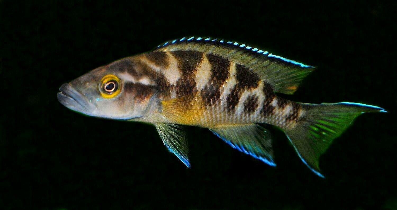 Pin On Popular African Cichlids