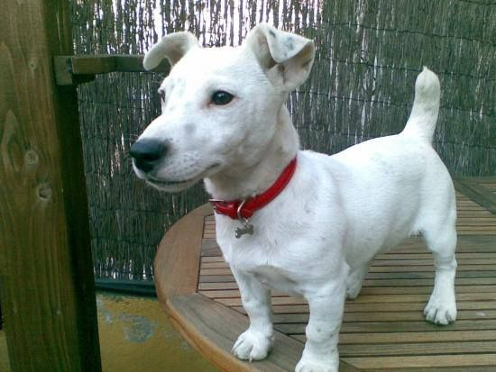 All White English Jrt Jack Russell Terrier Jack Russell