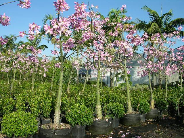 Ceiba Speciosa Plants Deciduous Trees Blooming Succulents