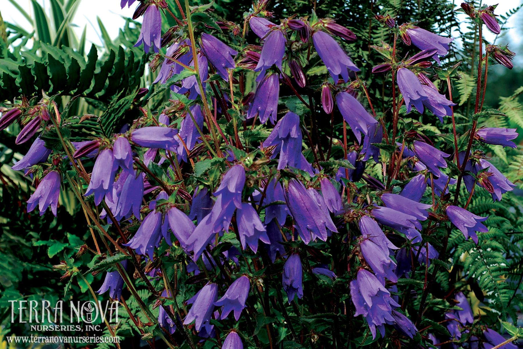 Campanula summertime jazz a summer festival of flowers this campanula summertime jazz a summer festival of flowers this powerhouse blooms all season long compact plant habit is accentuated by blue bells izmirmasajfo Gallery