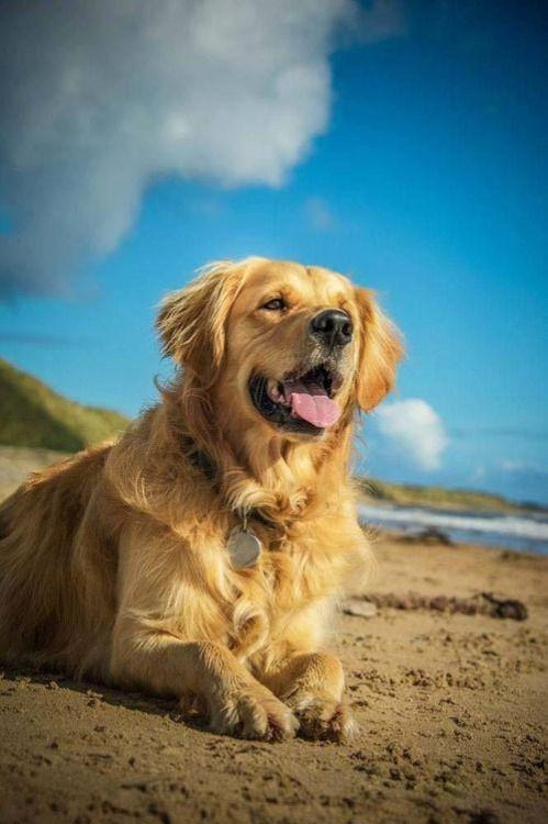 Golden At The Beach Dogs Golden Retriever Golden Retriever