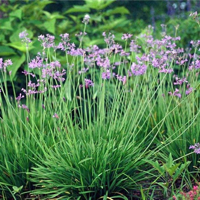 Pretty But Stinky Garlic Flowersociety