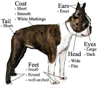 Diagram Of A Boston Terrier - Auto Electrical Wiring Diagram •