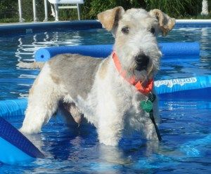 Oh Jinx Is An Adoptable Wire Fox Terrier Dog In Brooklyn Park