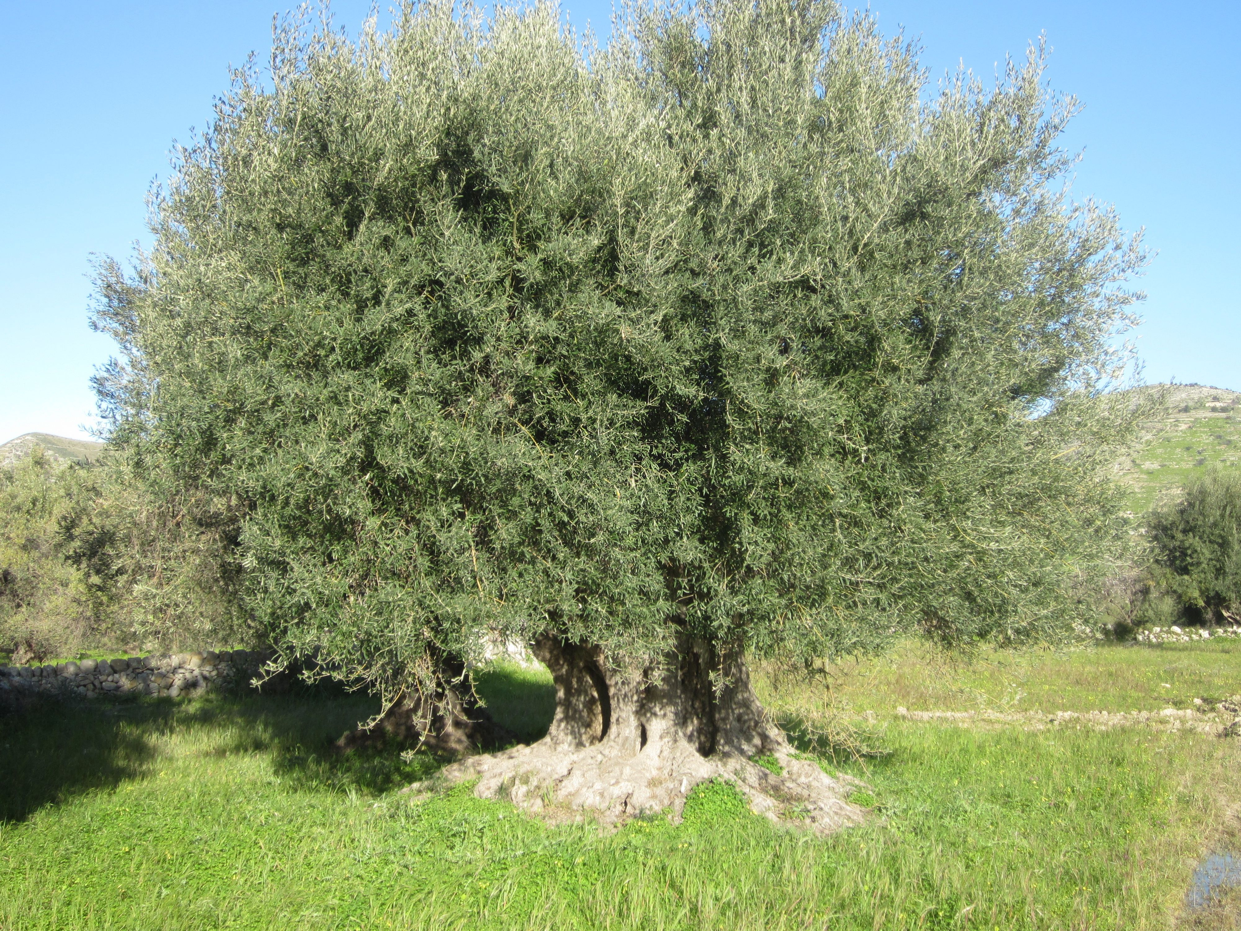 An olive tree is a symbol for athena because an olive tree resembles an olive tree is a symbol for athena because an olive tree resembles peace and prosperity buycottarizona Choice Image