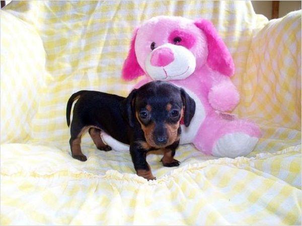Miniature Dachshund Puppies For Sale Scotland Zoe Fans Blog