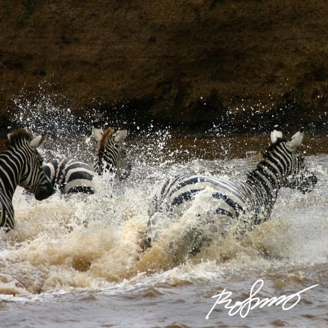 Zebras charging out in to the Mara River