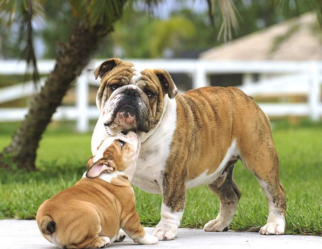 Bulldog Puppy Father And Son Bulldog Puppies Cute Dogs Cute