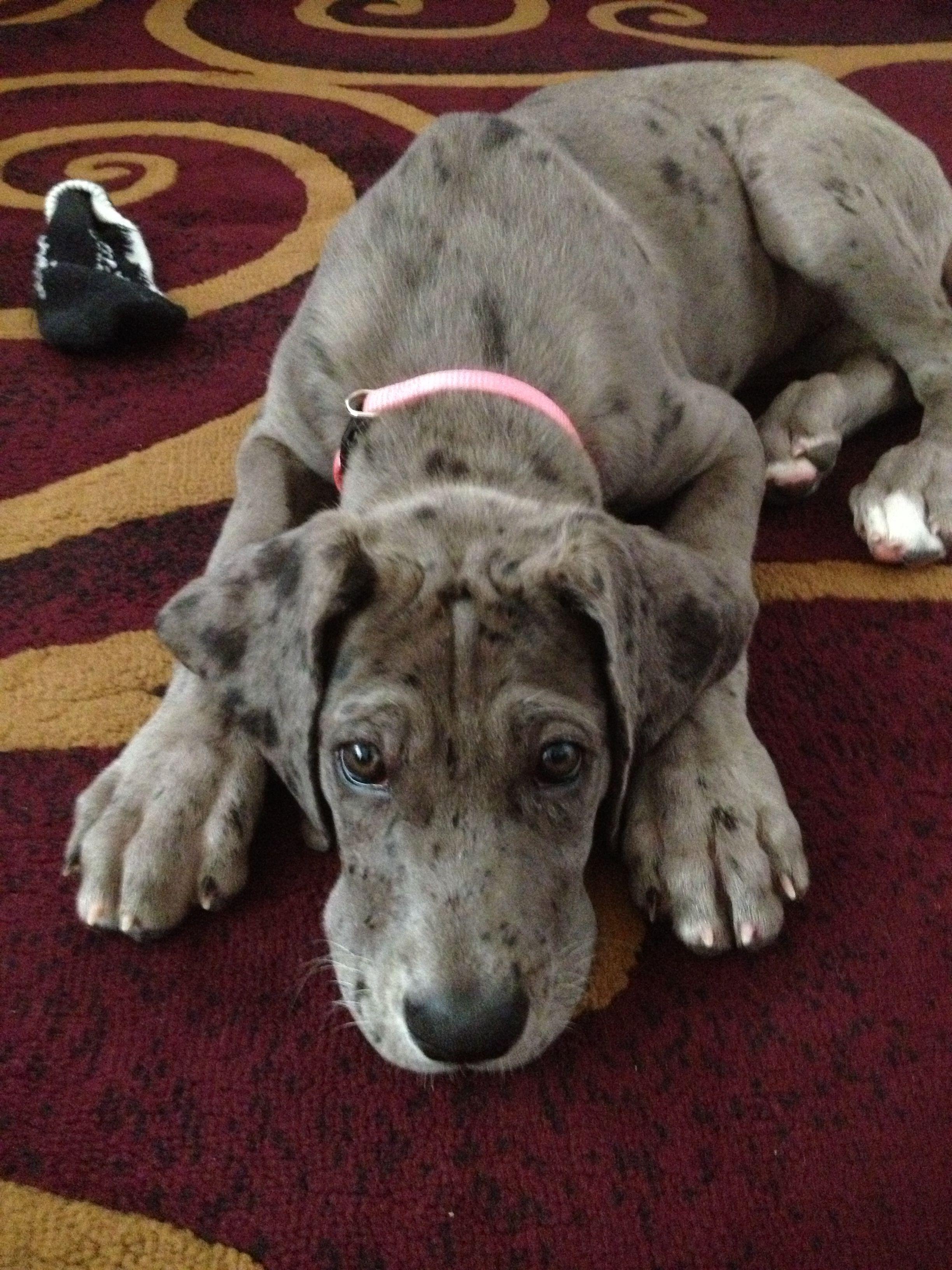 Blue merle Great Dane....puppy love!!! Blue merle great